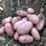 Potato Growing in Raised Beds & Ridge Planting Potatoes