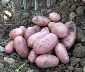 Ridge Growing Potatoes