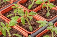 Tomatoes Potted On