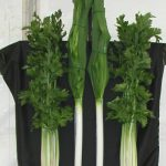 Growing Trench Celery for Horticultural Show - Trench Celery