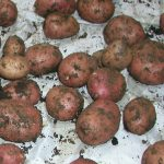 White Spots on Potatoes Lenticels & Potato Stem Rot