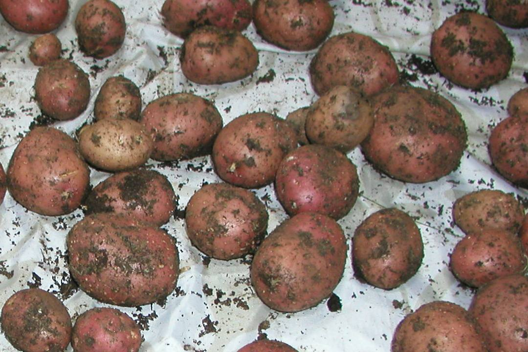 White Spots on Potatoes