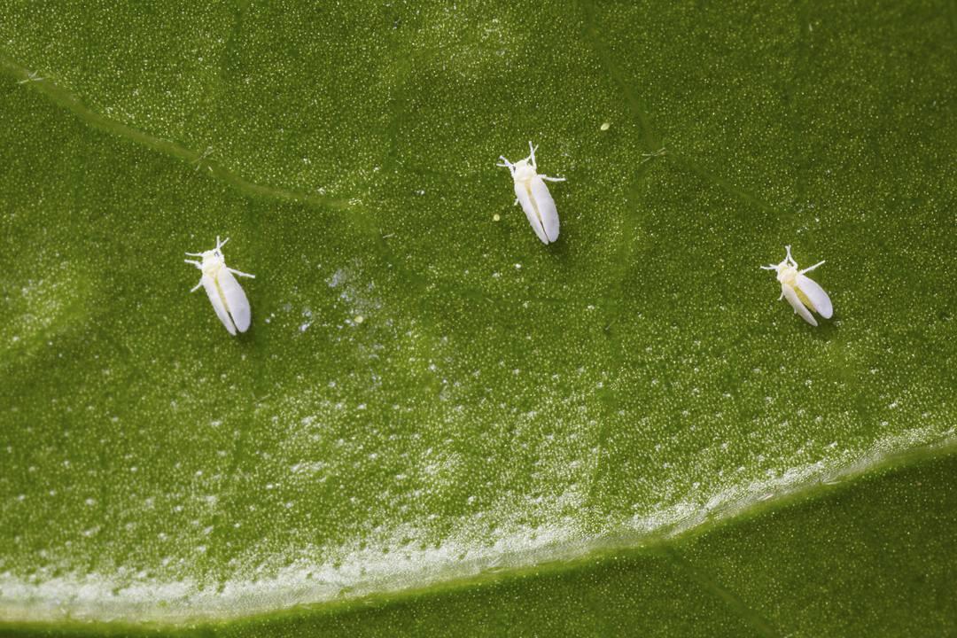 Brassica Pests Problems Allotment Gardens