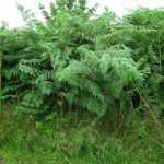 Bracken Control, Composting Bracken, Cancer Risks