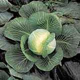 Cabbage Kilaxy
