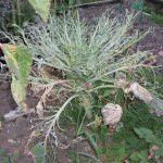 Brassica Pests & Problems