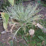 Brassica Pests & Problems