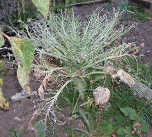 Caterpillar Eaten Brassica