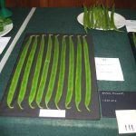 Cultivation of Exhibition Runner Beans for Horticultural Show