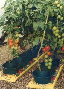 Grow Pot Tomatoes
