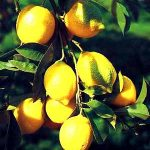 Growing Citrus Fruits - Secrets of Success