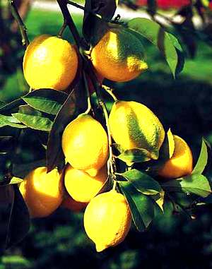 Citrus Fruit - Lemon