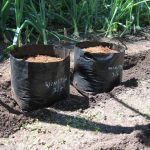 Growing Potatoes for Show, Cultivation of Show Potatoes