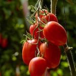 Types of Tomatoes - An Introduction to Tomato Growing Part 1