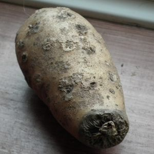 Potato with Scab & Dry Rot