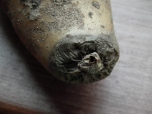 Potato Dry Rot Close Up