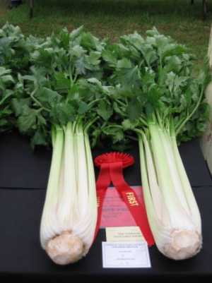 Prize Winning Celery