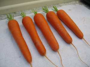 Selecting Carrots