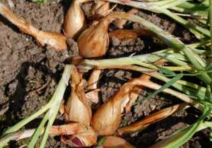 Shallots Ready to Harvest