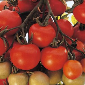 Ailsa Craig Tomato