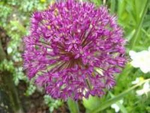 Allium Seed Head