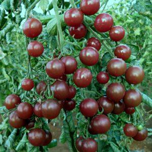 Black Opal Tomatoes