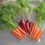 Seed Saving: Carrots | Save Your Own Carrot Seed