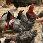 Chickens & Poultry Books