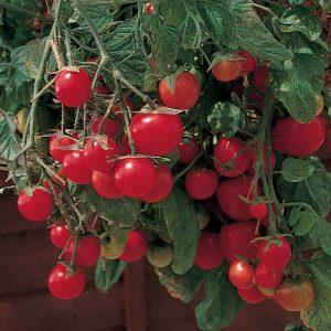 Gartenpearle Garden Pearl Tomato