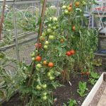 Best Tomatoes for Greenhouse Growing