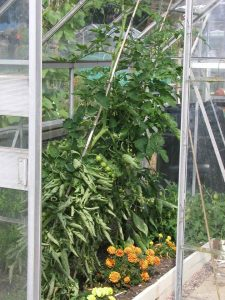 Marigolds Repel Whitefly in Greenhouse