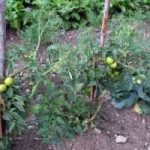 Planting & Growing Tomatoes Outdoors