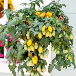Growing Patio Tomatoes - Dwarf Bush Variety Patio Tomatoes