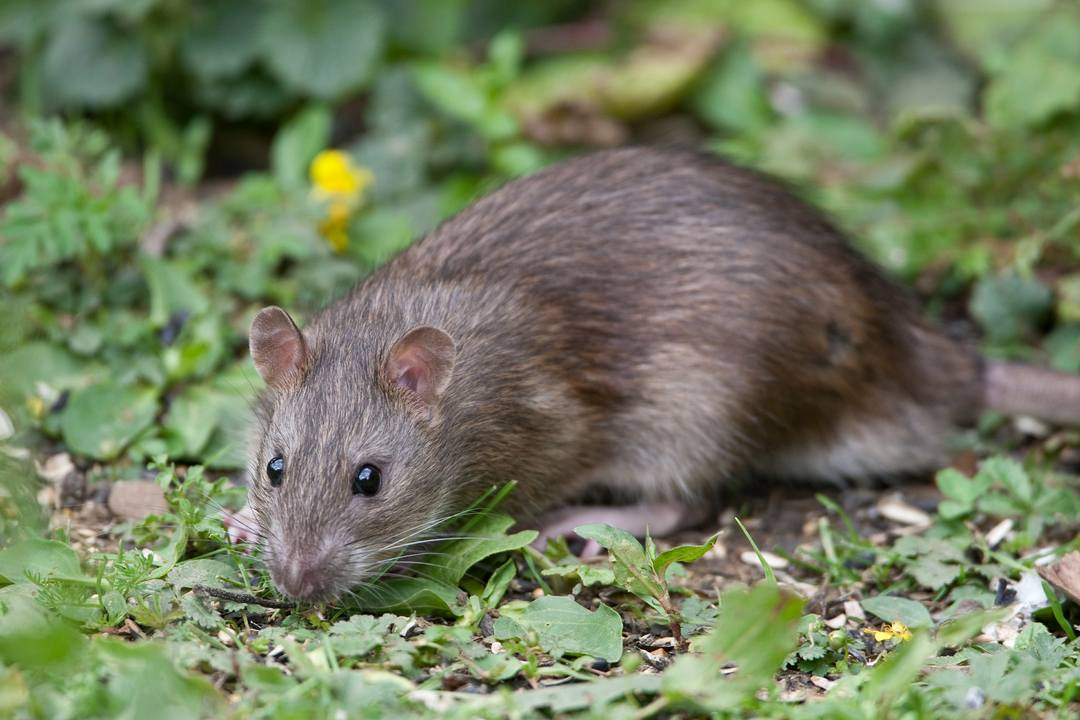 Rats in the Compost Heap Weils Disease Safety Concerns