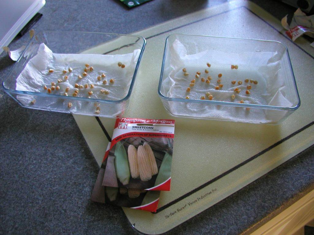 Seed Germination Viability Testing Sweetcorn