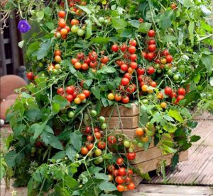 Tomato Lizzano Blight Resistant
