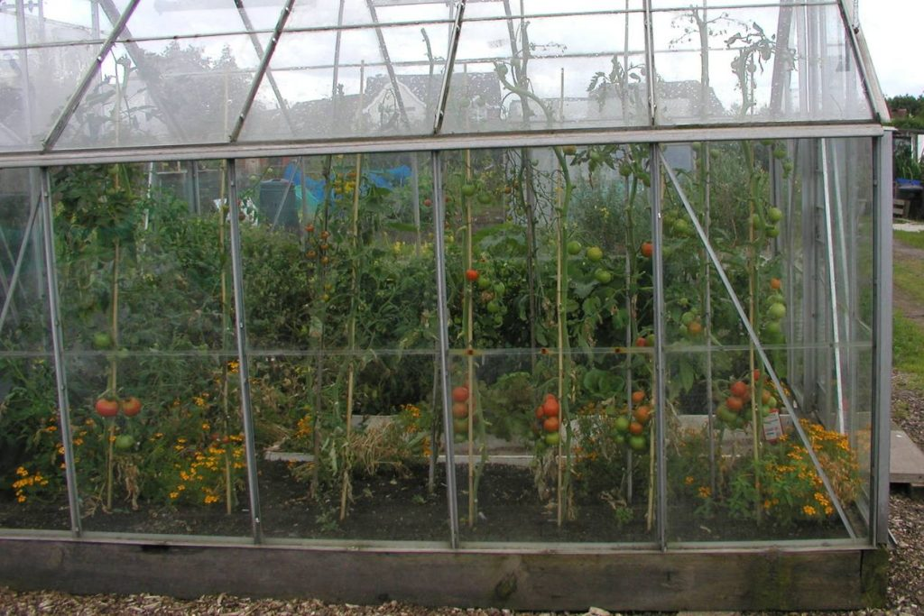 Tomatoes in Greenhouse Border