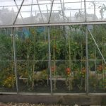 Growing Tomatoes in the Greenhouse Border