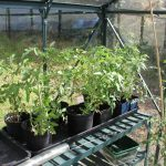 Ideal Temperatures for Growing Tomatoes
