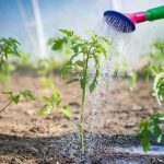 Water Requirements for Tomatoes