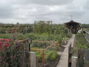 Allotment Vegetables July