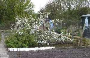 Apple Blossom in April