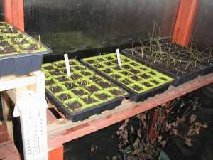 Onion Seedlings in Modules