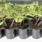 Raising Tomato Plants from Seed