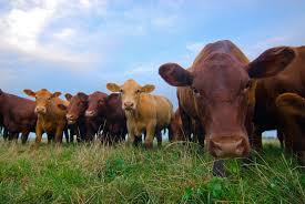 Livestock - cows