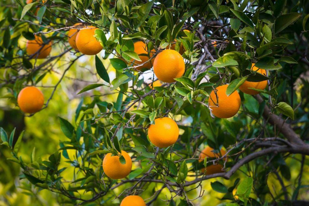 Growing Fruit Oranges Spain