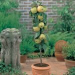 Winter Care of Container Fruit Trees