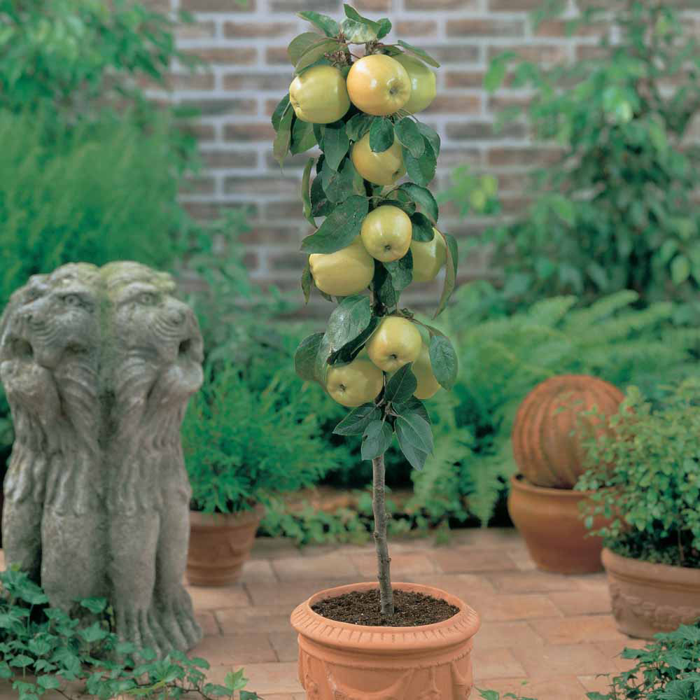 Container Fruit Tree