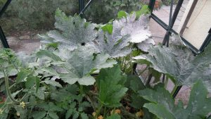 Courgette Powdery Mildew
