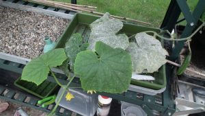 Cucumber Powdery Mildew